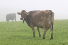 Milchkuh im Morgennebel auf Allgäuer Weide